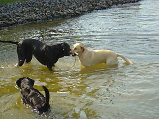 Three Dogs in Lake Anna