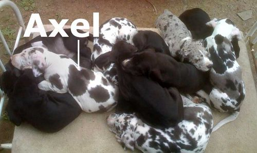 Picture of 11 Great Dane pups