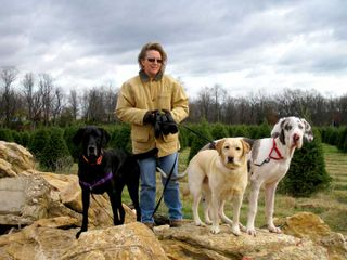 Christmas Tree Farm with Labradors and Great Danes