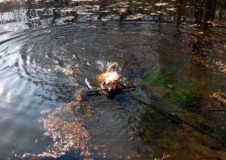 Tango swimming in frigid pond