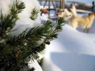 W_macro_snow_dogs