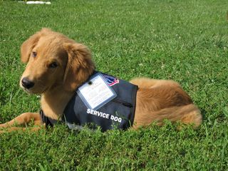Teddy in Service Dog Vest