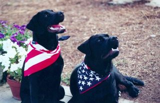 Patriotic Labs: Lily and Rocky