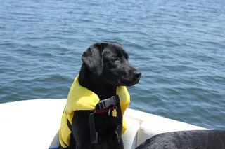 Caysun, black Labrador pup