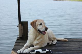 Labrador retriever at the lake