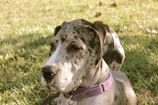 Service Dog In Training, Siena, Great Dane puppy; dog training, puppy training, clicker