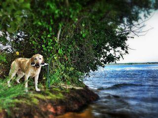 Labrador at lake.