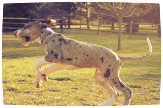 Great Dane, puppy, service dog, dog training