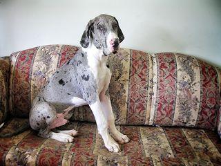 Great Dane on sofa