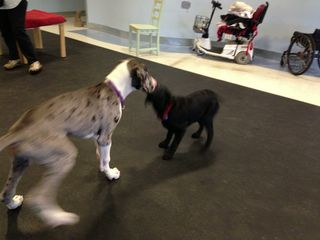 Great Dane, toy, play, play nicely, resource guarding, aggression, dog aggression