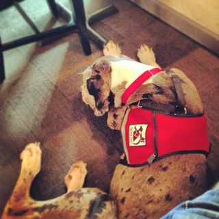 Great Dane service dog, assistance dog, dog in restaurant