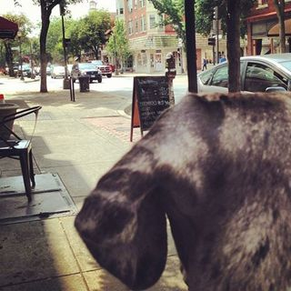 Great Dane, service dog, assistance dog, dog in public,