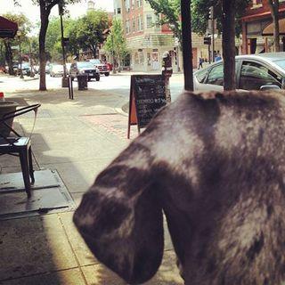 Great Dane, service dog, assistance dog, dog in public,