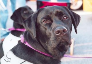 Lab, Labrador retriever, service dog, dog training, assistance dog