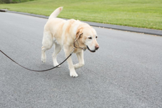 Lab, loose leash, dog pulls on leash, yellow Lab, dog training
