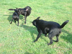 3_dogs_play1